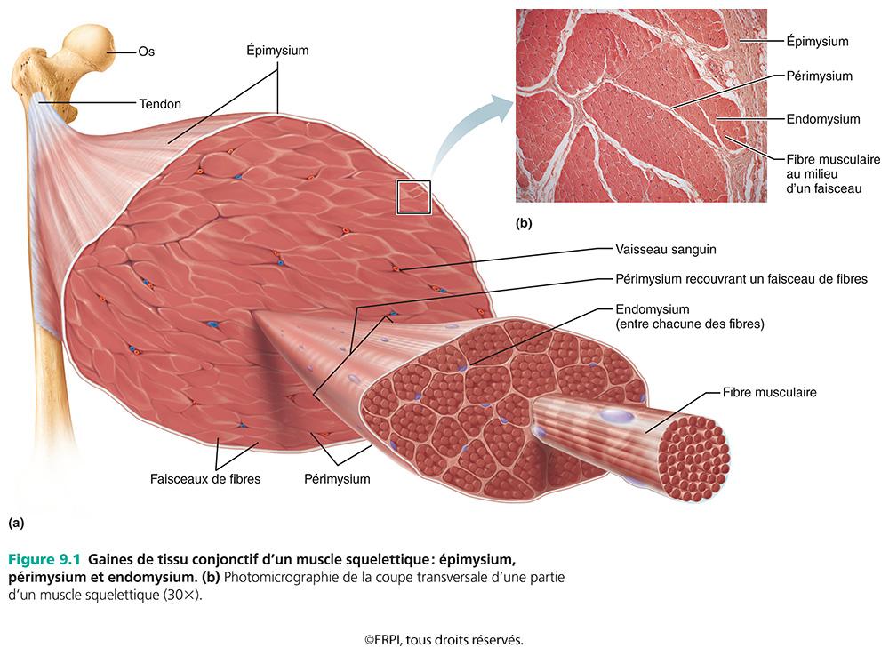 Berühmt Anatomie Und Physiologie Com Marieb Fotos - Menschliche ...