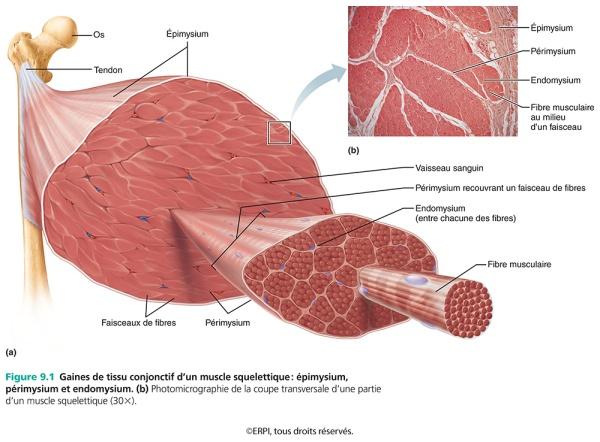Marieb & Hoehn Anatomie et physiologie humaines 2015